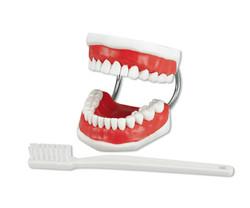 Zahnputzmodell Floss